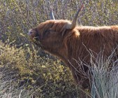 IMG_4143 Highland Cow eating Willow Blossom - Copy