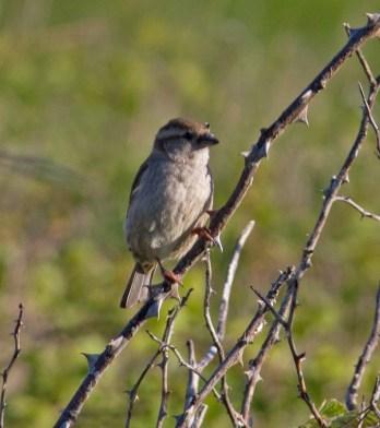IMG_4187 Female House Sparrow - Copy