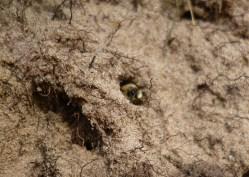 plasterer bee in nest hole