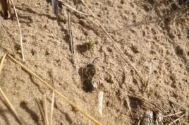 plasterer bee on sand dune
