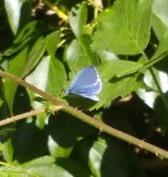 IMG_20170504_153644766 male Holly blue