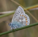 IMG_4476Male Common-blue butterfly - Copy
