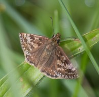 IMG_4488 Dingy Skipper butterfly - Copy