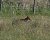 IMG_4527 Fox on the hunt - Copy