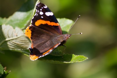 IMG_4802 Red Admiral - Copy