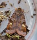IMG_4852 N End moth hunt 20th June 2017 Purple Clay - Copy
