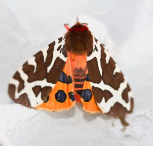 IMG_5092Garden Tiger Garden moth hunt 17th July 2017 - Copy