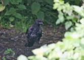 IMG_5190 Scruffy Carrion Crow - Copy