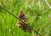 small copper on rush stem