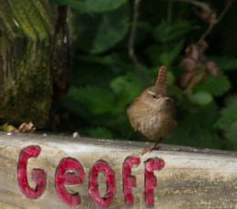 IMG_5280Young Wren - Copy