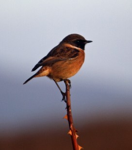 IMG_5564 Male Stonechat 29th Oct 2017 - Copy