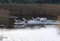 IMG_5575 Six Cygnets landing on fishing pond 29th Oct 2017 - Copy