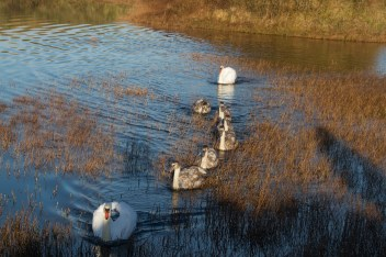 IMG_5592 Swans and six cynets Nov 2017 - Copy