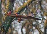 IMG_5617 bullfinch 4 males 3 females