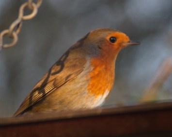 IMG_5636 Robin at feeders 1st Dec 2017 - Copy
