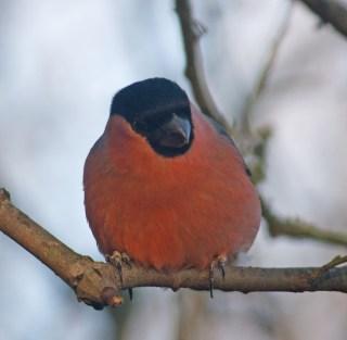 IMG_5647 Male Bullfinch at feeders 1st Dec 2017 - Copy