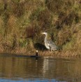 IMG_5656 Cormorant and Heron on square pond 1st Dec 2017