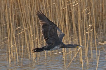 IMG_5679 Comorant lifting off fishing pond 3rd Dec 2017 - Copy