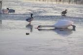 IMG_5698 Swan reaching for food- Copy