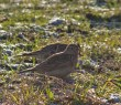 IMG_5763 Pair of Skylarks 7th Jan 2018