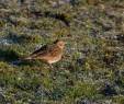 IMG_5769 Skylark 7th Jan 2018 - Copy