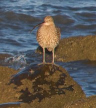 IMG_6014 Lone Curlew