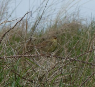 Grasshopper Warbler 27th April 2018 - Copy