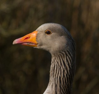 IMG_6051 Greylag head - Copy