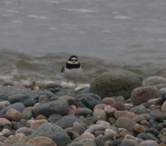 IMG_6114 Ringed Plover - Copy