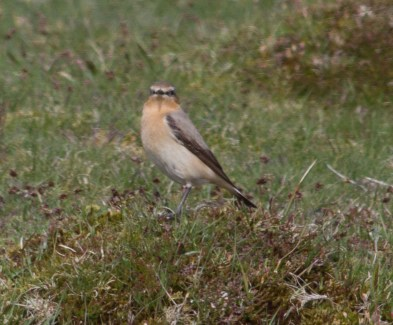 IMG_6156 Smart looking Wheatear - Copy