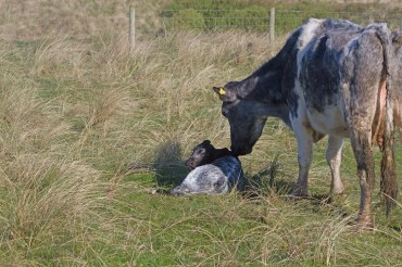 IMG_6210 Cow and calf - Copy