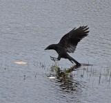IMG_6236 Carrion Crow picking up food - Copy
