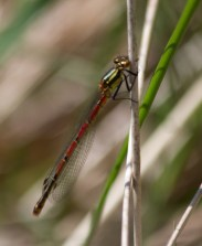 IMG_6263 Large Red Damselfly - Copy