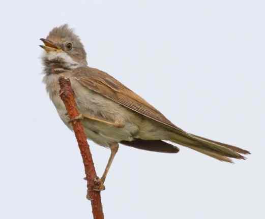 IMG_6365 Whitethroat - Copy