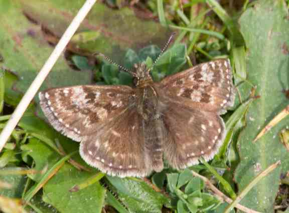 IMG_6386 Dingy Skipper - Copy