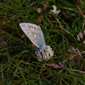IMG_6392 Common Blue Butterfly male - Copy
