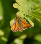 IMG_6674Large Skipper on Royal Fern - Copy