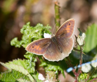 IMG_6676 Meadow Brown female - Copy