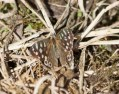 IMG_6682 Speckled Wood - Copy