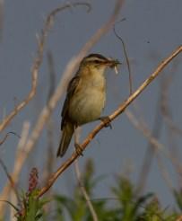 IMG_6815 Sedge Warbler with food - Copy