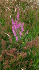IMG Purple-loosestrife - Copy