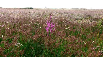 IMG Purple-loosestrife in field - Copy