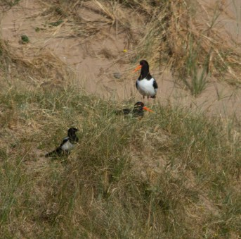 IMG_7175 Magpie and two Oystercatchers - Copy