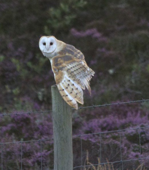 IMG_7513Barn Owl on fence post 9th August 2018 - Copy