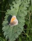 IMG_7589 Small Heath on leaf - Copy