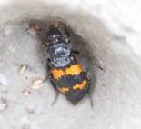IMG_7671 N End moth hunt 19th August 2018 Sexton Beetle - Copy