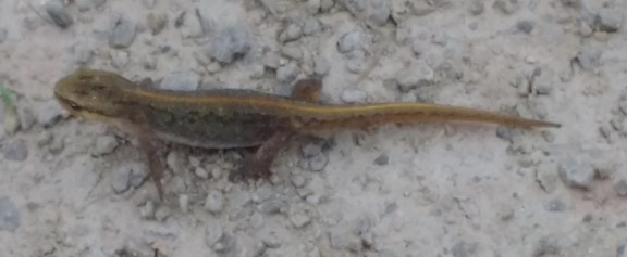 IMG Young Common Lizard on path - Copy