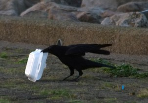 IMG_7983 Carrion Crow with carryout - Copy