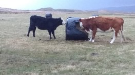 cows eating from direct from the bales (1)