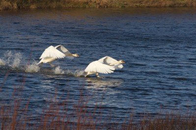 img_8096 battling swans - copy